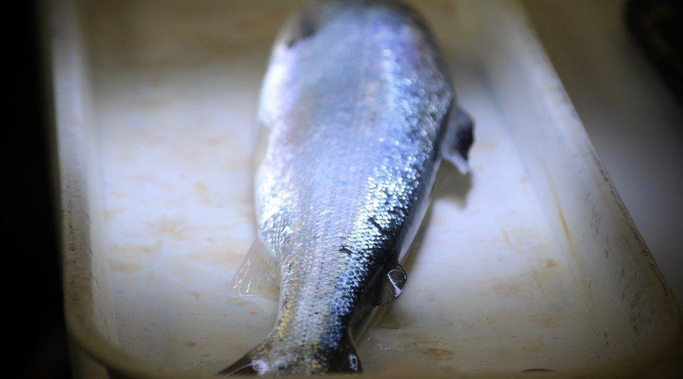 Photo of dead salmon